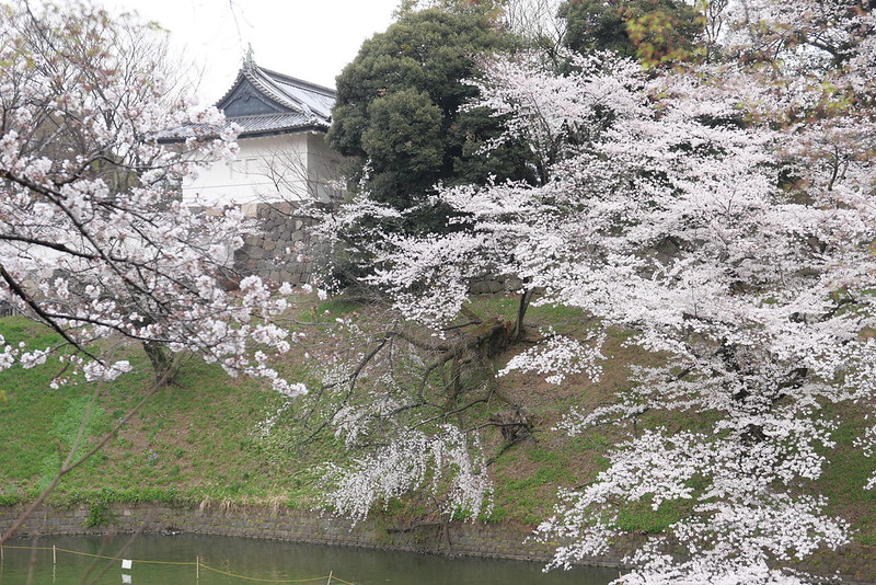 Sakura in full bloom at Chidorigafuchi, Tokyo 02