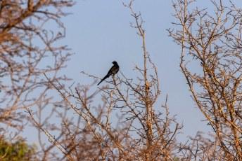 Er zijn zo'n 779 vogelsoorten te vinden in Zambia. Ik heb mijn best gedaan, maar van deze heb ik niet kunnen achterhalen welke soort het is.