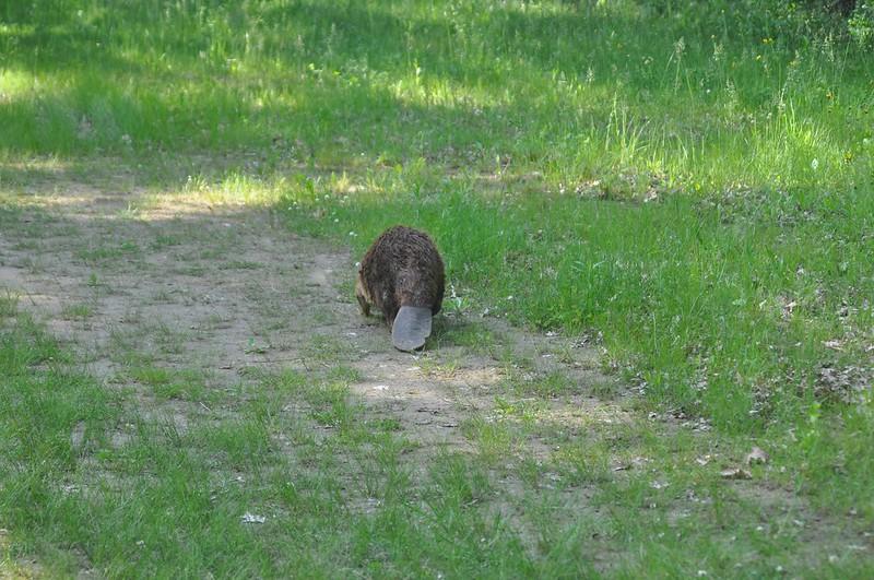 Beaver at Kankakee River State Park