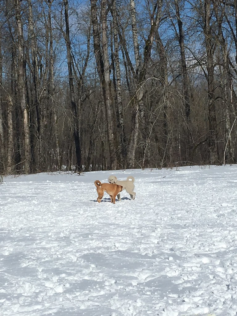 2019_02_10_Dogs in the snow at Sandy River Delta_AlexaPengelly
