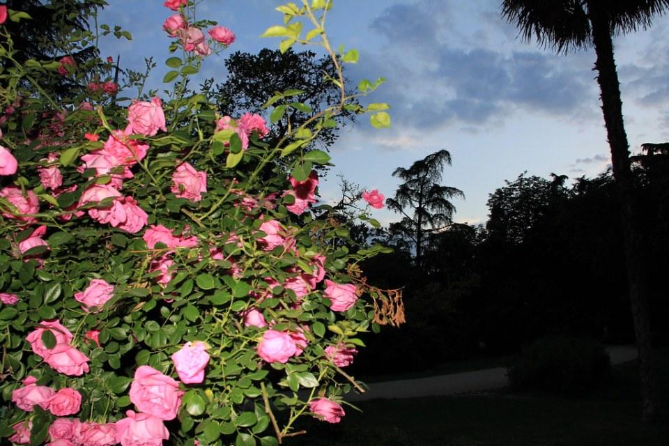 rosal atardecer Jardin Quinta Fuente del Berro Madrid
