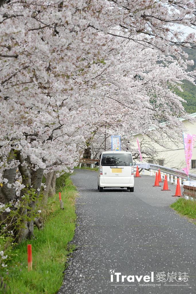 京都賞櫻景點 井手町玉川堤 (31)