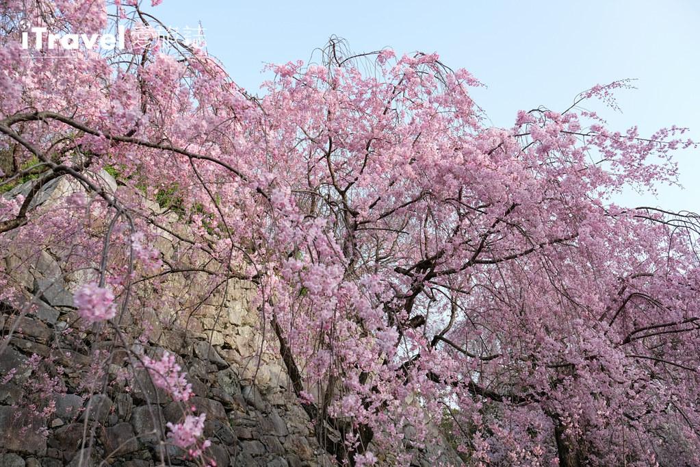 福岡賞櫻景點 福岡城 (33)