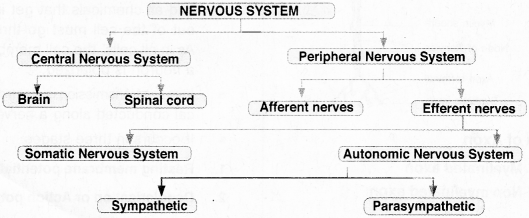 Plus One Zoology Notes Chapter 10 Neural Control and Coordination 3