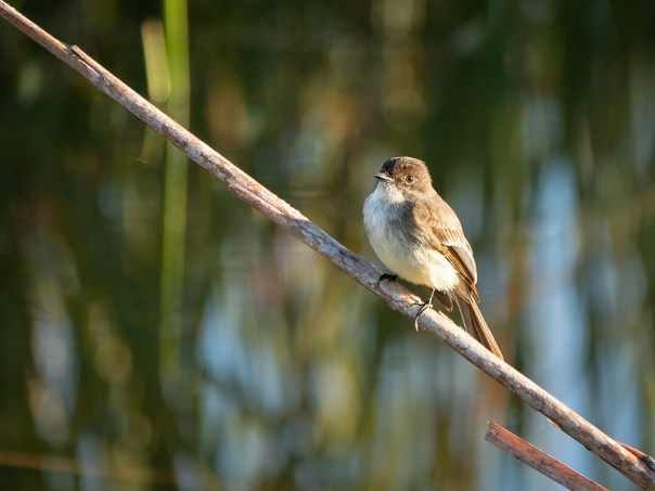 Ash-throated Flycatcher (?)