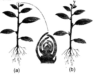 Plus One Botany Notes Chapter 11 Plant Growth and Development 6