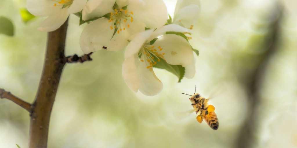 abeilles-gènes-propres