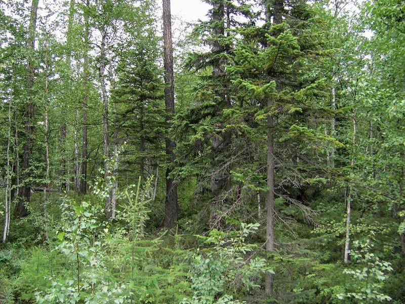 Лес в средней части Камчатки