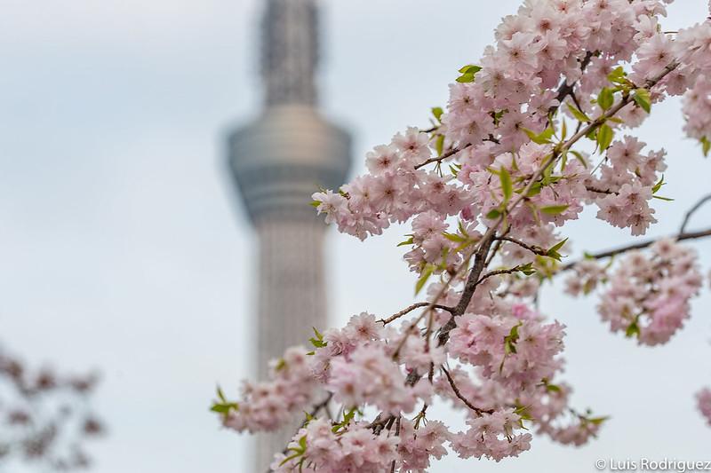 Cerisiers en fleurs dans le parc Sumida