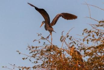Als mensen zeggen: 'je bent zo blauw als een reiger'. Dan hebben ze het over dit dier. De Blauwe Reiger oftewel Grey Heron (Ardea cinerea).