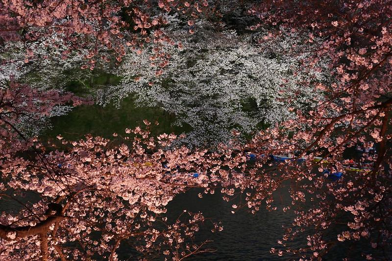Sakura in full bloom at Chidorigafuchi, Tokyo 21