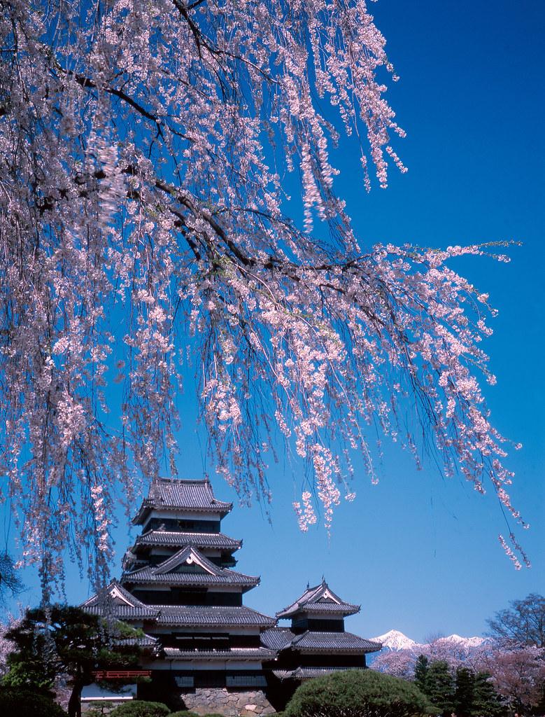 47 Matsumoto Castle in Spring