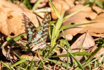 Ik had niet alleen oog voor de grote beesten, maar ook voor kleintjes zoals deze vlinder. Vermoedelijk de Graphium antheus.