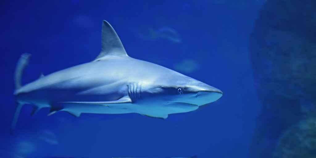 conprendre-la-longévité-du-requin-blanc