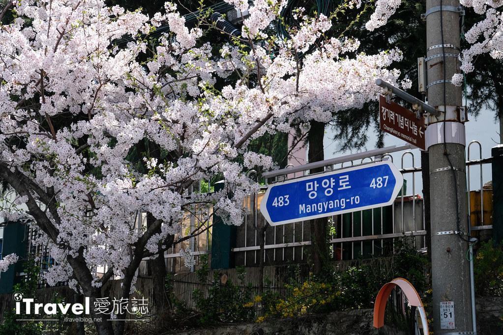 釜山賞櫻景點 東大新洞望洋路 (69)