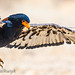 Sub-adult Bateleur coming in for the landing