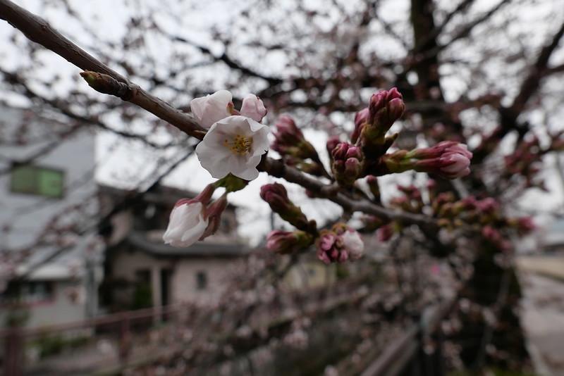 八瀬川桜まつり Yasegawa Cherry blossoms festival 03