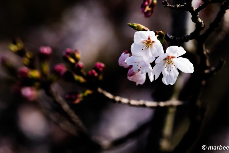 It will be in full bloom soon