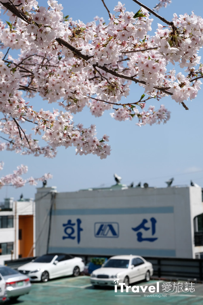 釜山賞櫻景點 東大新洞望洋路 (56)