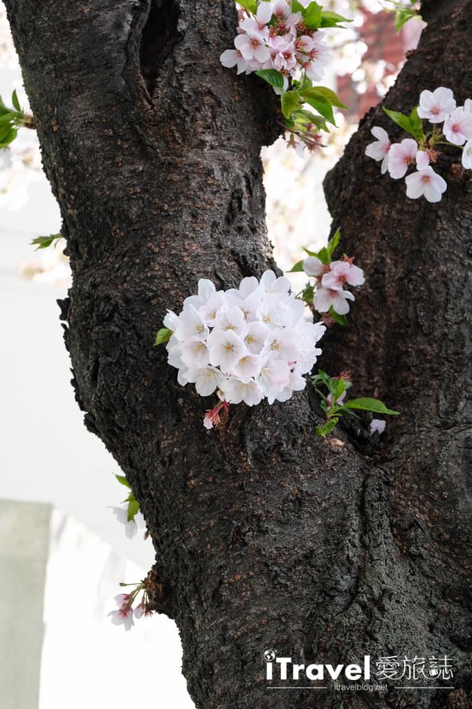 釜山賞櫻景點 東大新洞望洋路 (9)
