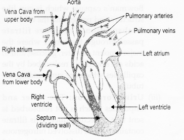 RBSE Solutions for Class 10 Science Chapter 2 Human System al6