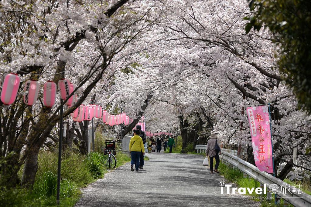 京都賞櫻景點 井手町玉川堤 (5)