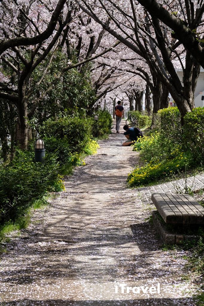 福岡賞櫻景點 美野島南公園 (25)