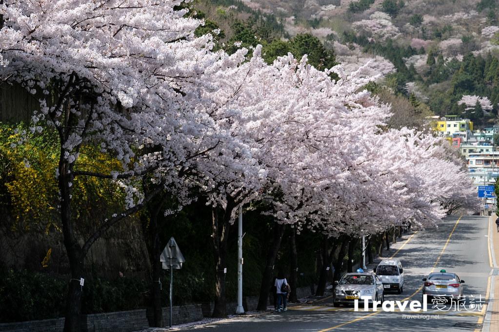 釜山賞櫻景點 東大新洞望洋路 (70)