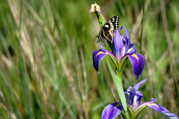 Wild Iris and Swallowtail