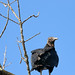The Black Vulture