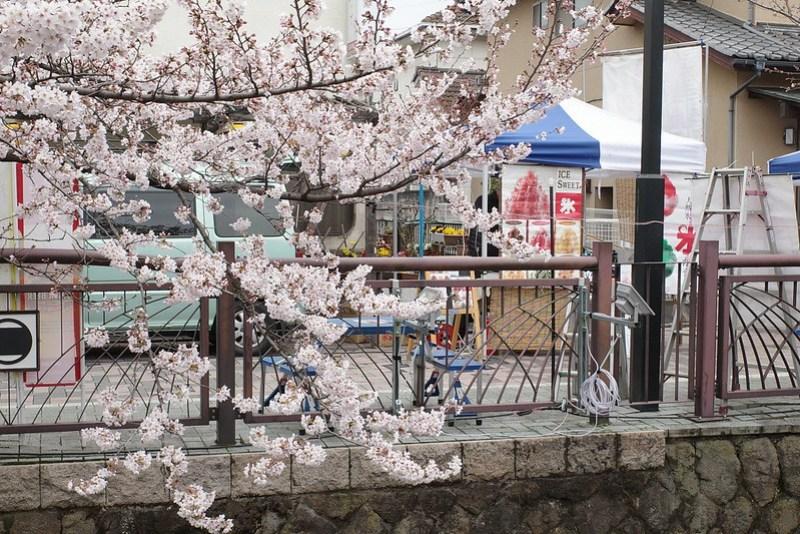 八瀬川桜まつり Yasegawa Cherry blossoms festival 11