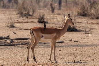 Dit is een vrouwtjes impala, want die hebben geen hoorns, met een roodsnavel ossenpikker (Buphagus erythrorynchus) op zijn rug.