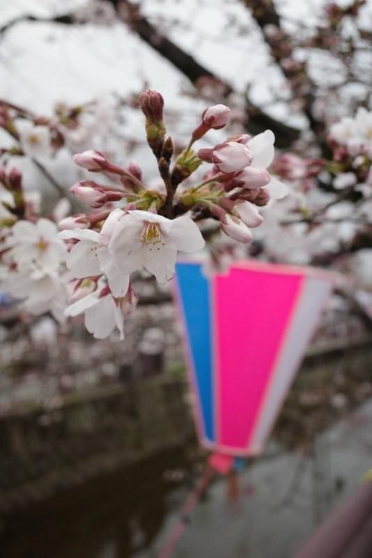八瀬川桜まつり Yasegawa Cherry blossoms festival 14