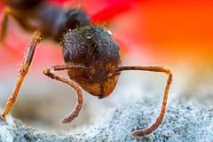 Ant X