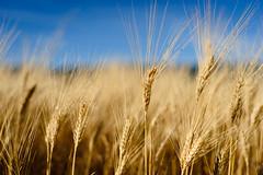 Lovely Wheat field
