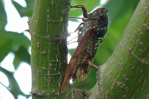青山霊園のアブラゼミ(Cicada at Aoyama Cemetery, Tokyo, Japan)
