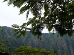 20121202_HoomaluhiaBG_ParkiaTimoriana_Cutler_P1380025 (wlcutler) Tags: hawaii kaneohe fabaceae hoomaluhiabotanicalgarden Parkia timoriana