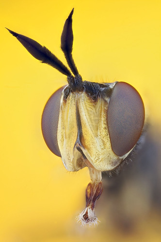 hoverfly extrememacro componon zerenestacker extrememacrocouk