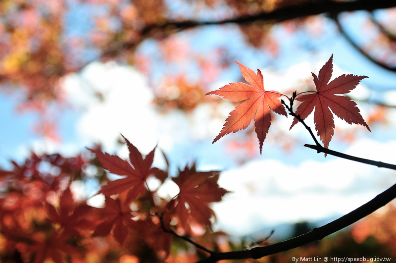 福壽山農場楓紅-54