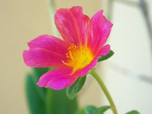 Portulaca grandiflora / Onze horas (Fabianni L. Ribeiro) flower macro grandiflora onze horas portulaca flowerscolors
