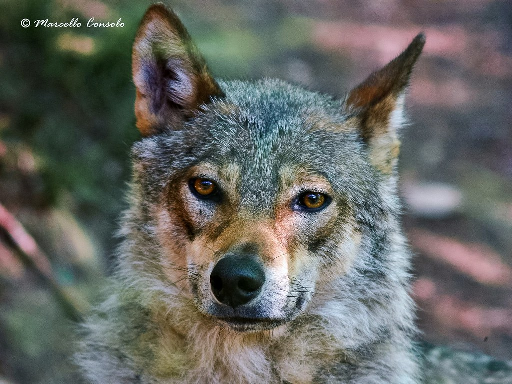The World S Best Photos Of Commonwolf
