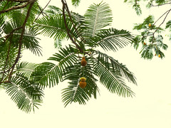20121202_HoomaluhiaBG_ParkiaTimoriana_Cutler_P1380024pcps (wlcutler) Tags: hawaii kaneohe fabaceae hoomaluhiabotanicalgarden Parkia timoriana