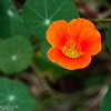 "Nasturtium • <a style=""font-size:0.8em;"" href=""http://www.flickr.com/photos/24419989@N07/8658161904/"" target=""_blank"">View on Flickr</a>"