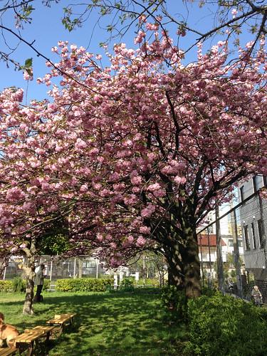 青山公園の桜(Cherry Blossoms at Aoyama Park, Tokyo, Japan)
