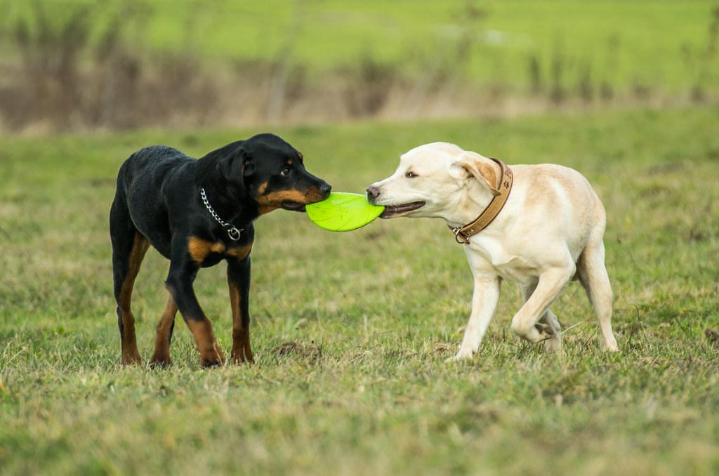 Labrador Retriever Bilder - Vorlagen zum Ausmalen gratis