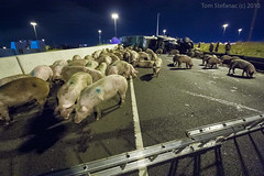 "Freeway Pigs • <a style=""font-size:0.8em;"" href=""http://www.flickr.com/photos/65051383@N05/8587062412/"" target=""_blank"">View on Flickr</a>"