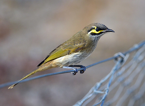 """Yellow-faced Honeyeater - You Yangs - VIC • <a style=""""font-size:0.8em;"""" href=""""http://www.flickr.com/photos/95790921@N07/8746820574/"""" target=""""_blank"""">View on Flickr</a>"""