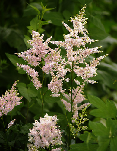 Astilbe In Shade Garden