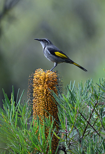 """Crescent Honeyeater - Bunyip State Park • <a style=""""font-size:0.8em;"""" href=""""http://www.flickr.com/photos/95790921@N07/8921825128/"""" target=""""_blank"""">View on Flickr</a>"""