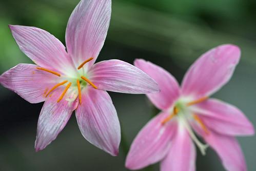 サフランモドキ(Zephyr lily)